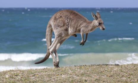 Kängurus gibt es nicht nur in Australien