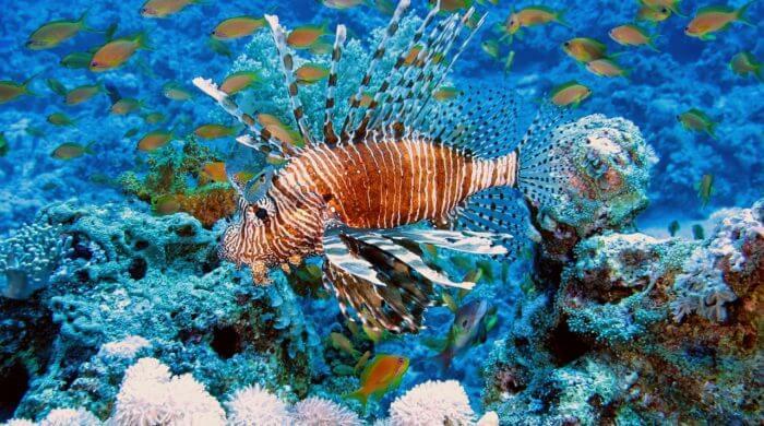 Rotfeuerfisch im Mittelmeer entdeckt