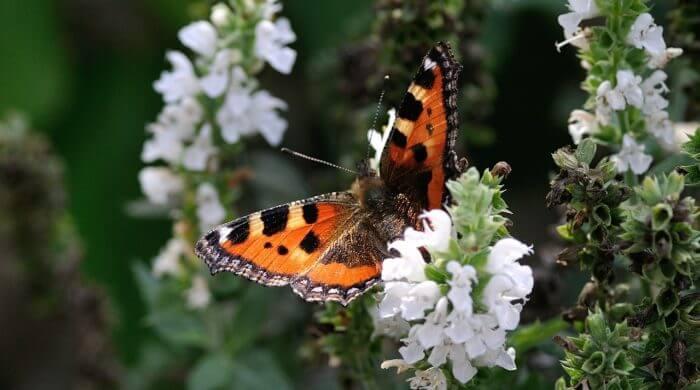 Schmetterlinge von Aussterben bedroht