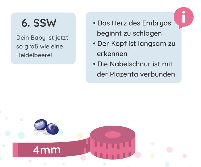 SSW 6: Entwicklung des Babys